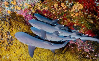 Conduite à tenir en plongée face aux requins